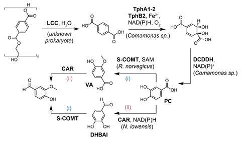 A picture showing the proposed enzymatic pathway