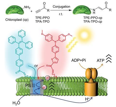 A scheme showing the attachment of AIEgens to chloroplasts