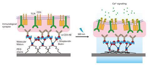T-cell activation scheme