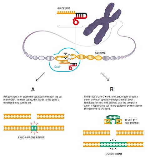 An image showing the CRISPS/Cas9 genetic scissors